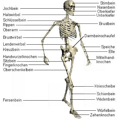 The Musculoskeletal System Structure And Function Nursing Part 4 as well Know All About Exercise likewise Story besides I00007zmnQuDhMpA furthermore Knochenlehre Osteologie. on joints labeling exercises