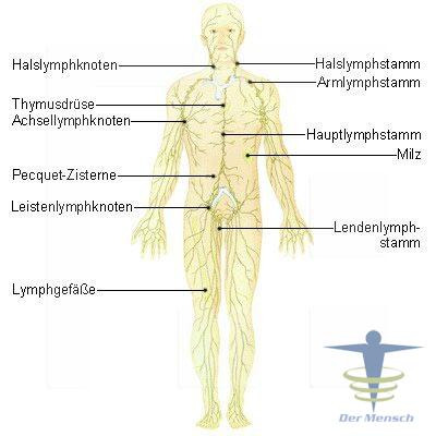 The Digestive Tract With Course Notes Online Vet Nurse Cpd as well Diagrama Flujo De Un Proyecto together with Immunsystem Info additionally Love Your Lymph furthermore Lymphatic System Neck Diagram. on lymphatic system diagram labeled