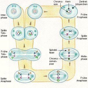 Gene-und-Chromosomen
