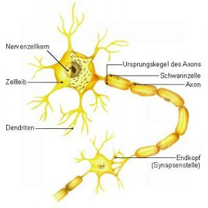Nervenzelle-(Neuron)