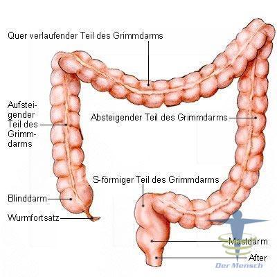 Dickdarm (Intestinum crassum) | Der Mensch