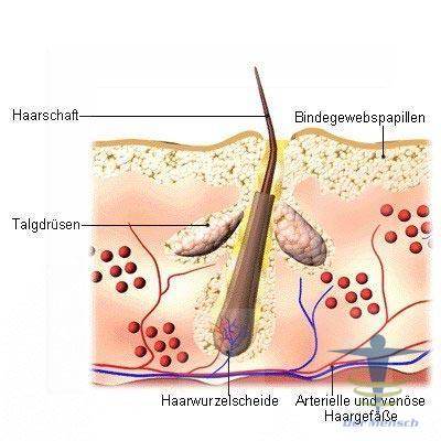 Aufbau-der-Haut