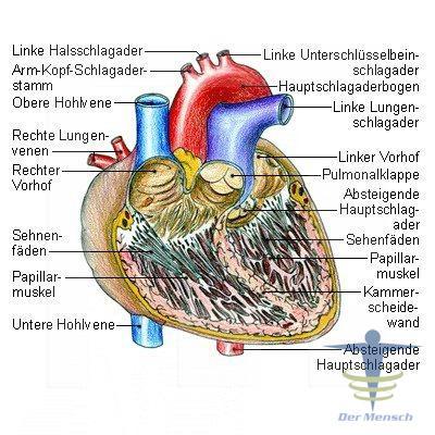 Das Herz - Anatomie & Funktionsweise | Der Mensch