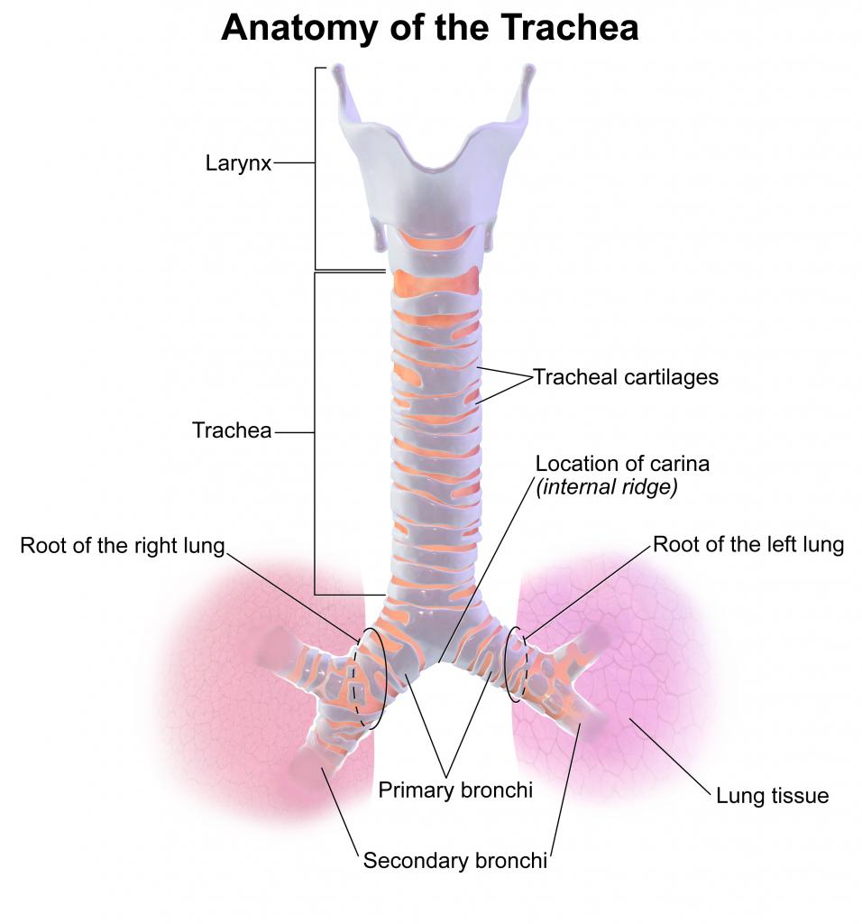 Luftröhre (Trachea) | Der Mensch