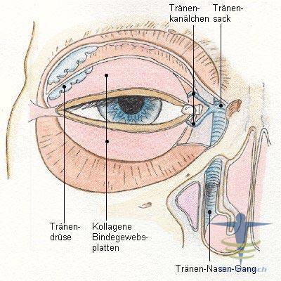 Augenlid | Der Mensch