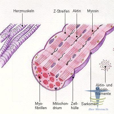 Das-Herzmuskel