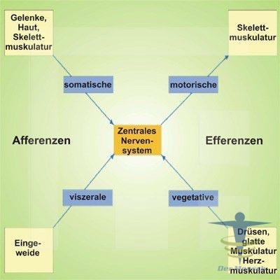 Das-Nervensystem-und-seine-Organe