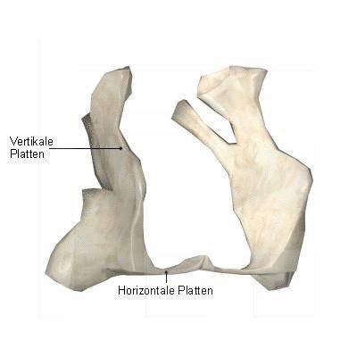 Gaumenbein-Os-palatinum