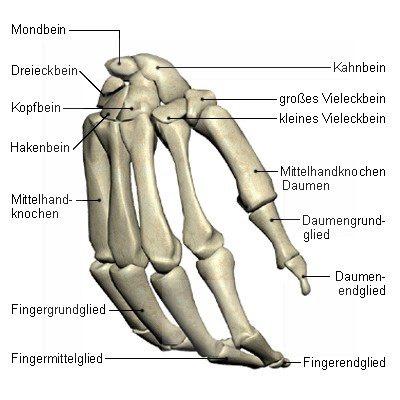 Hand Allgemein (Manus)