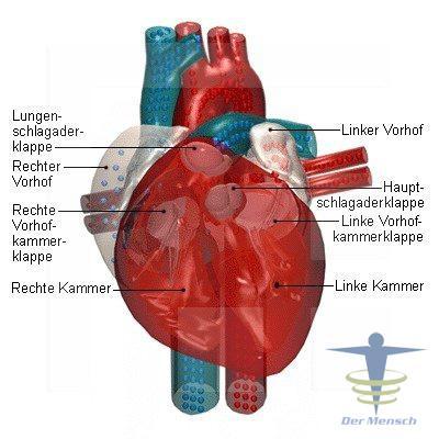 Herzklappen