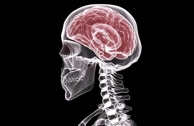 Das Gehirn des Menschen (Cerebrum)
