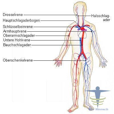 Kreislauforgane-System