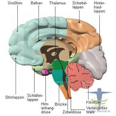Lage-der-Hypothalamus