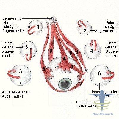 Augenmuskeln | Der Mensch