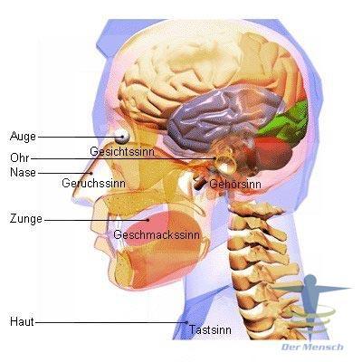 Lage-des-Sinne-und-ihrer-Organe