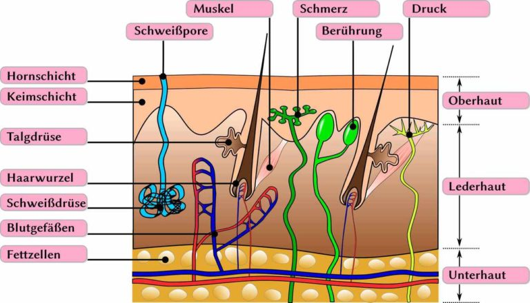 Lederhaut (Dermis)