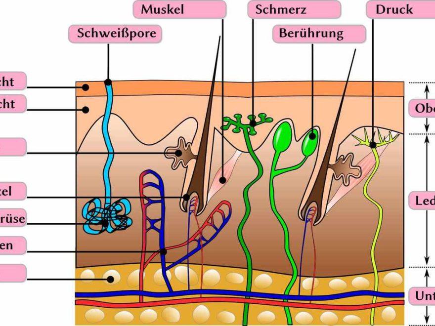 Lederhaut (Dermis) | Der Mensch