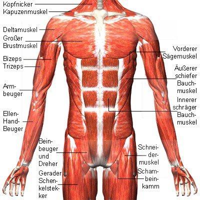 Muskeln der Brustwand | Der Mensch