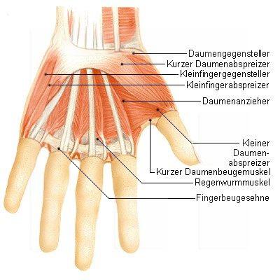 Handwurzelknochen (Ossa carpi) | Der Mensch