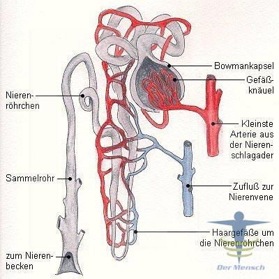 Nephron funktion | Der Mensch
