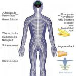 Peripheres Nervensystem
