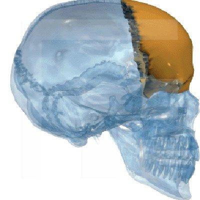 Stirnbein (Os frontale) | Der Mensch