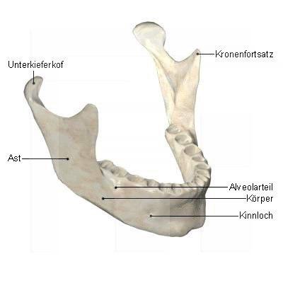 Unterkiefer-Mandibula