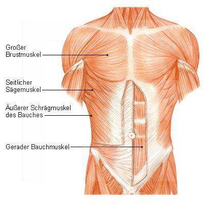 Bauchmuskulatur - Aufgaben, Funktion und mehr | Der Mensch