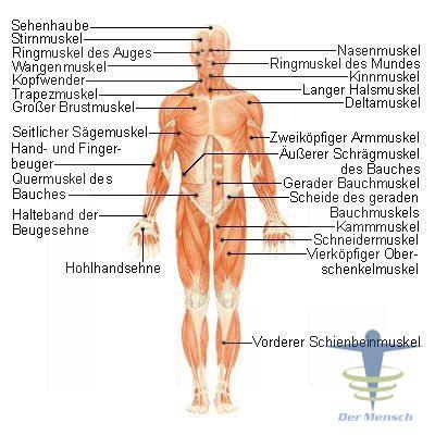 Die Muskulatur | Der Mensch