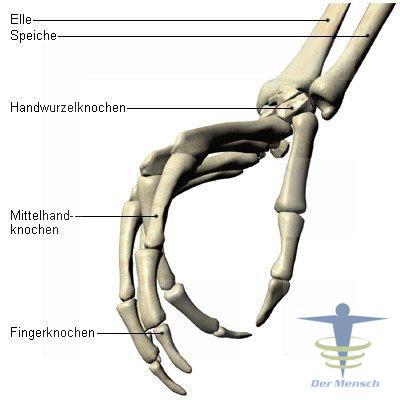 Gelenke des Daumens und der Finger | Der Mensch