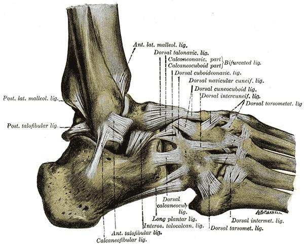 Sprunggelenke - Funktion, und die Anatomie | Der Mensch
