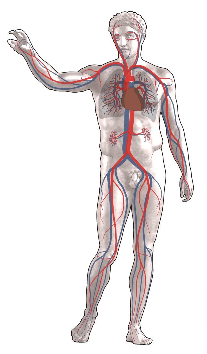 Das Herzzeitvolumen (HZV)