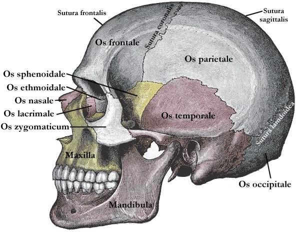 Hirnschädel (Neurocranium) - Anatomie, Funktion, und mehr