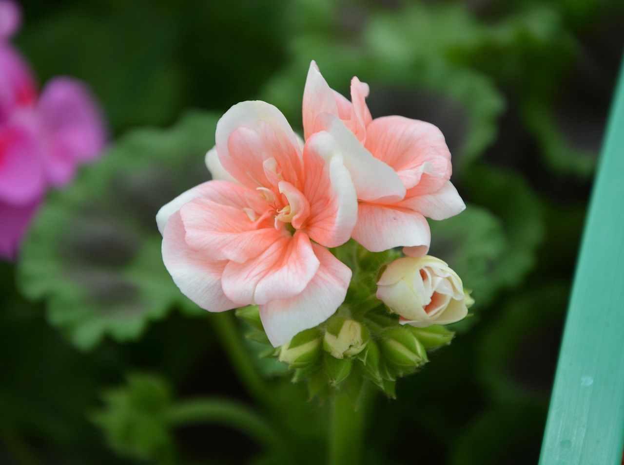 Geranium Arome Ol – Pelargonium graveolens